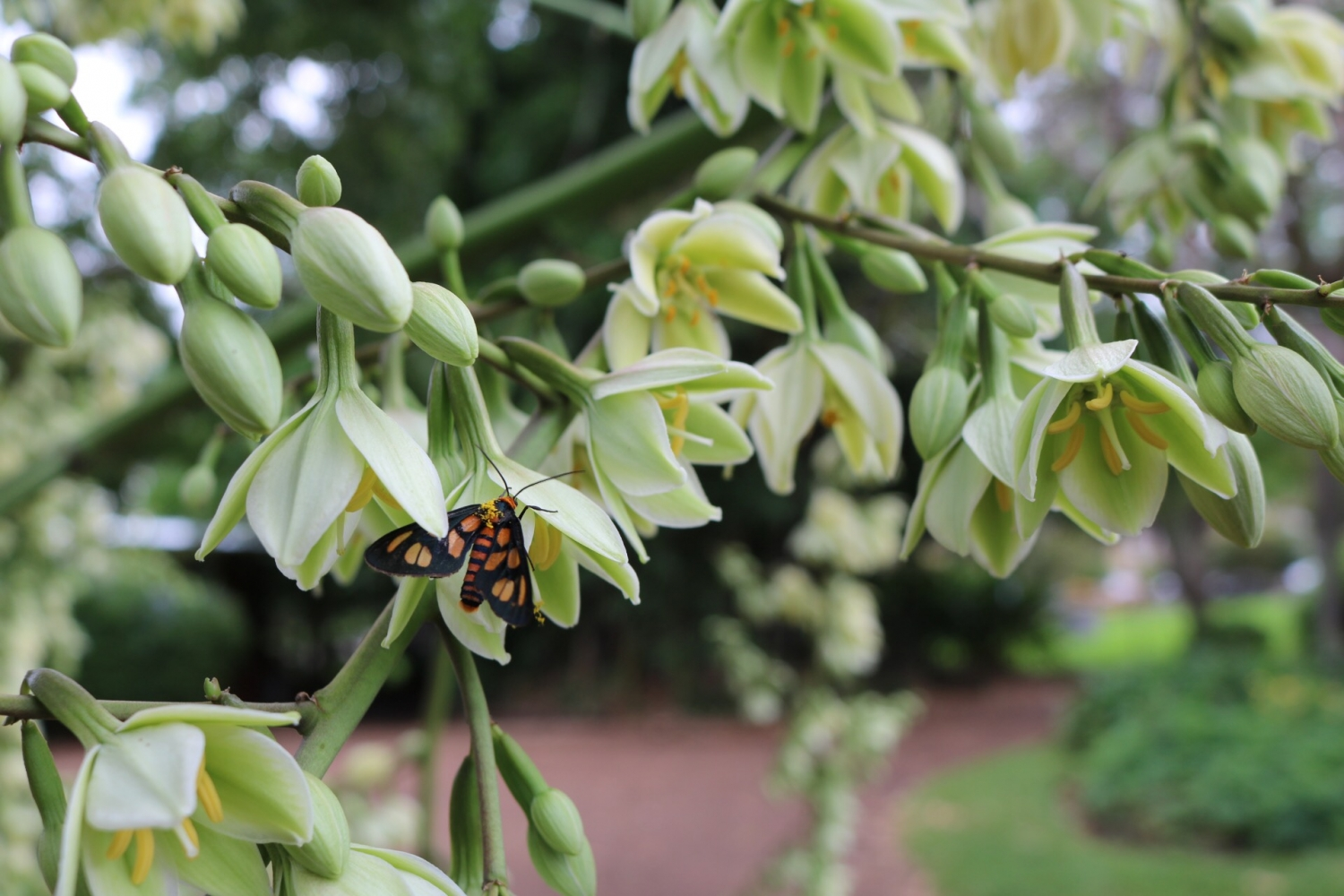 Furcraea Flowers with a tiger moth looking for nectar