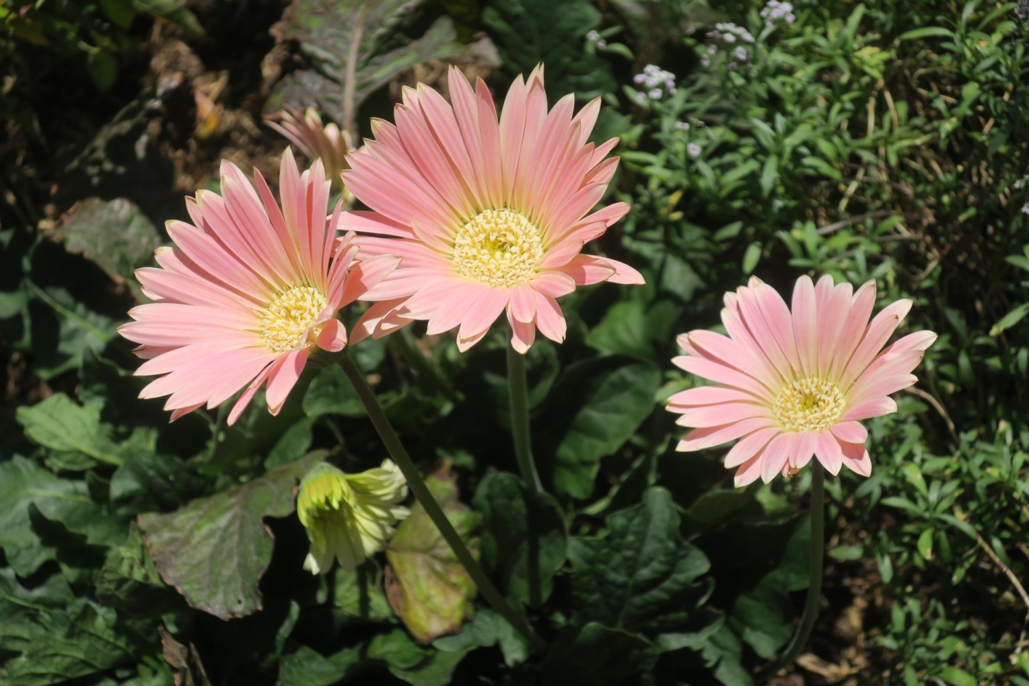 Pink multi-petalled flowers with light yellow centres.