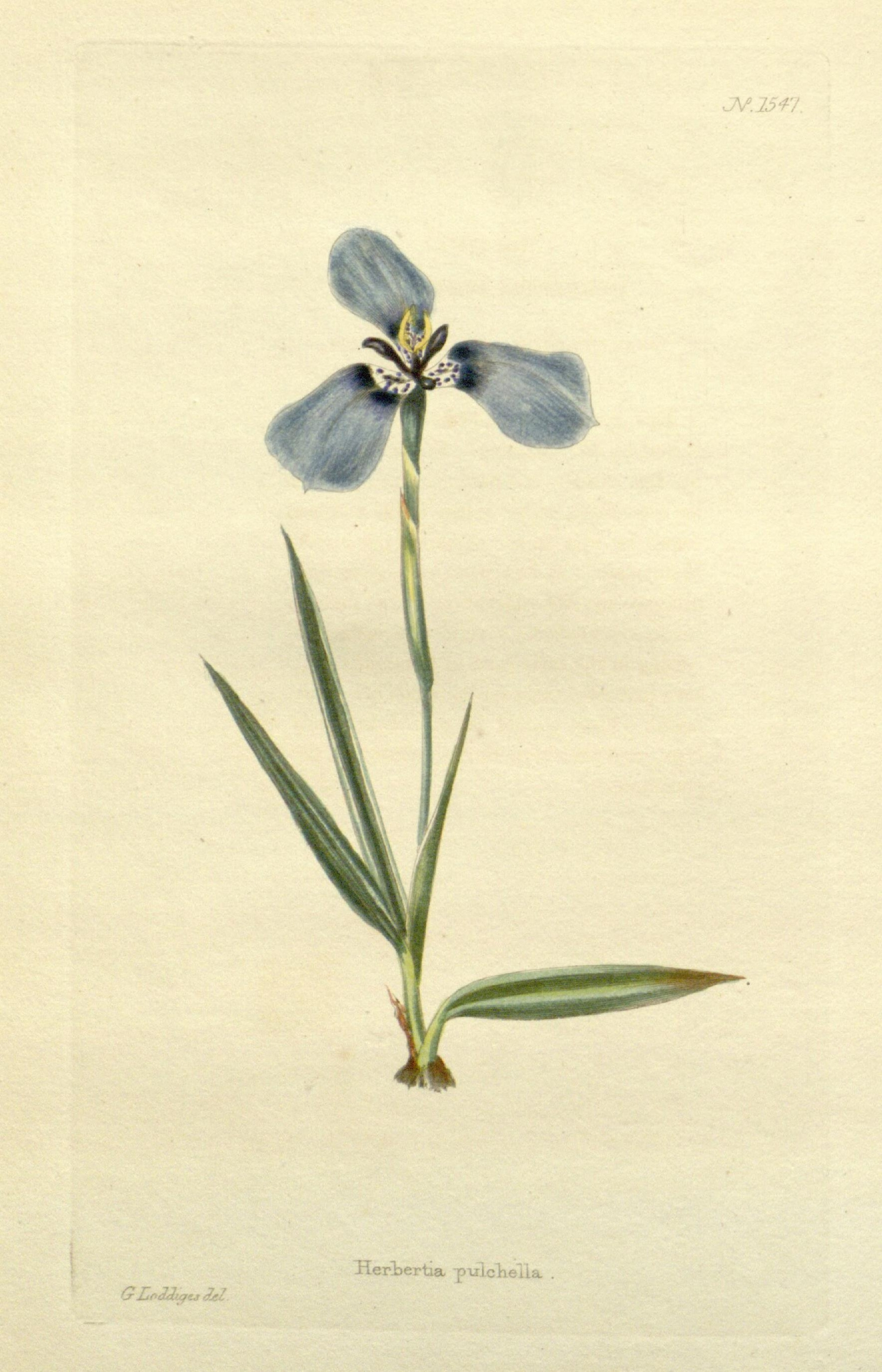 Diagram of Herbertia from Curtis The Botanical Cabinet volume 16