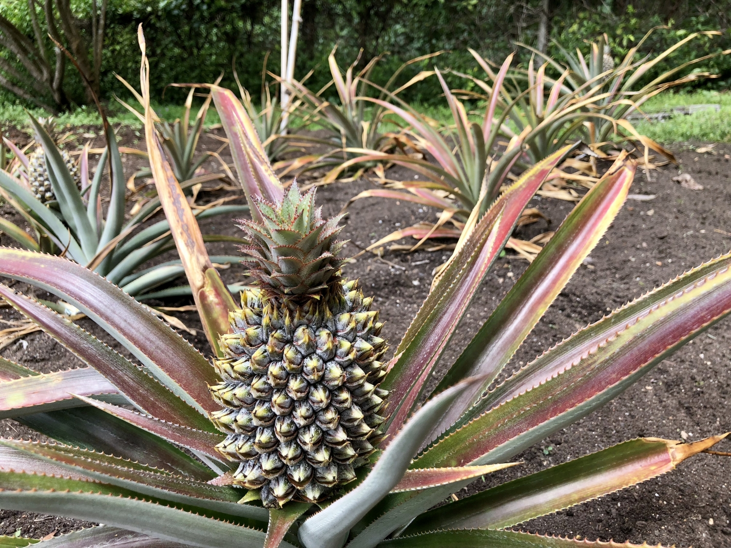 Pineapples fruiting at Vauclue House Kitchen Garden