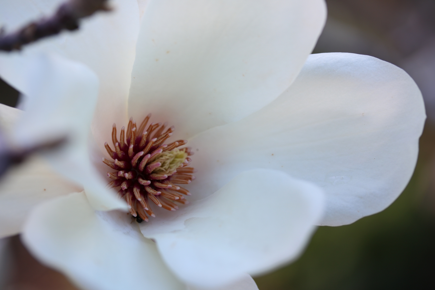 A close up image of the Stamens and carpels of the Magnolia denudata at Vaucluse House