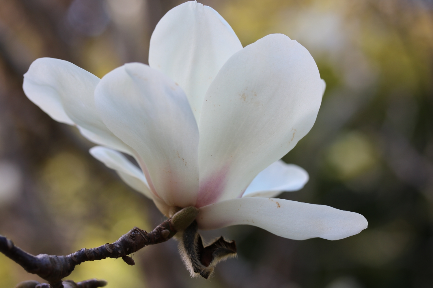 The detail and purple tinge of the Magnolia denudata bloom at Vaucluse House