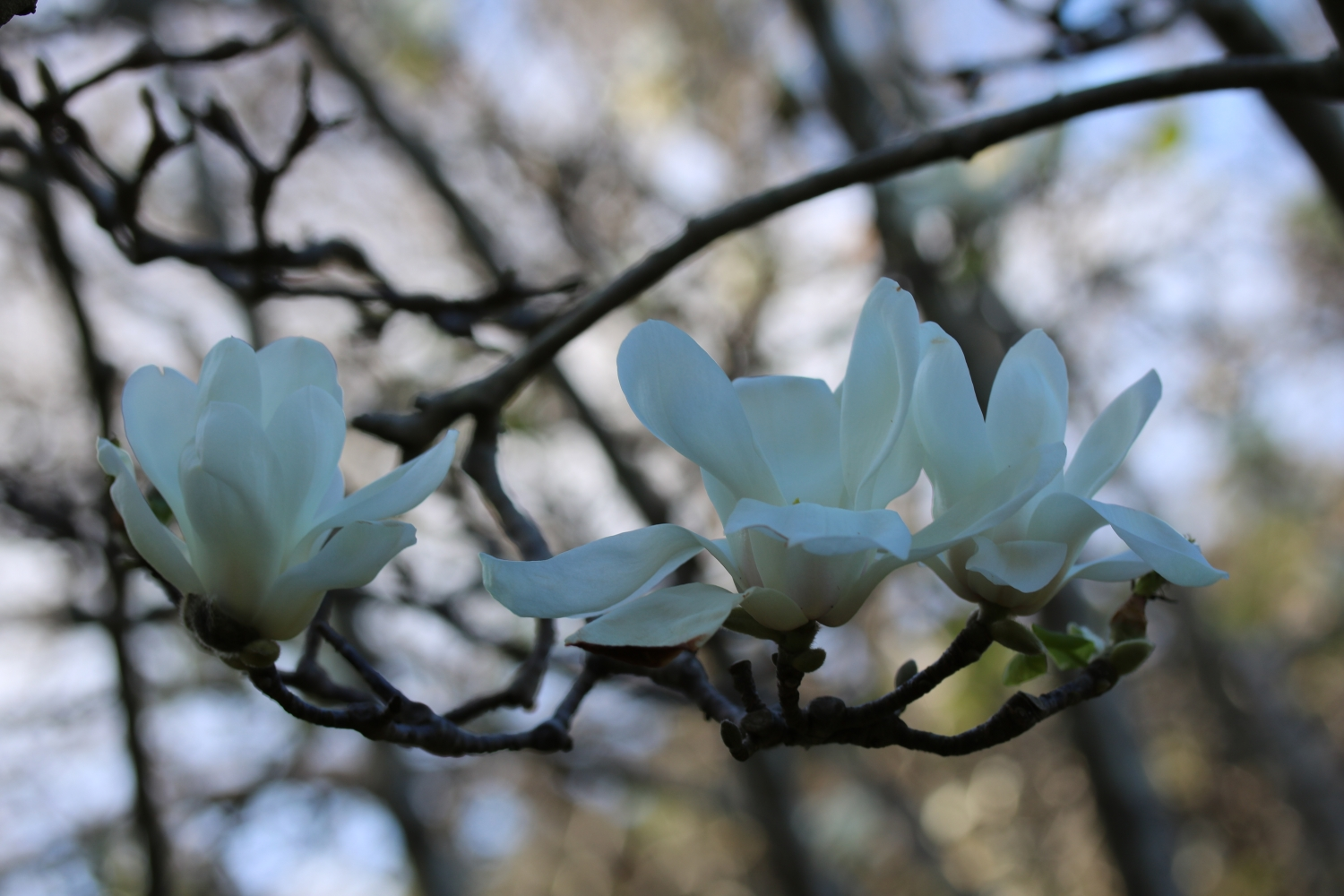 A trio of blooms on the Magnolia denudata at Vaucluse House