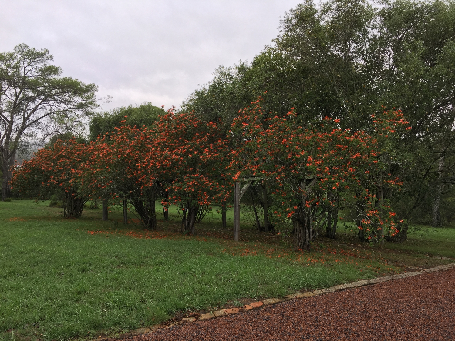 Currently in full bloom is the Tecoma capensis at Rouse Hill House and Farm