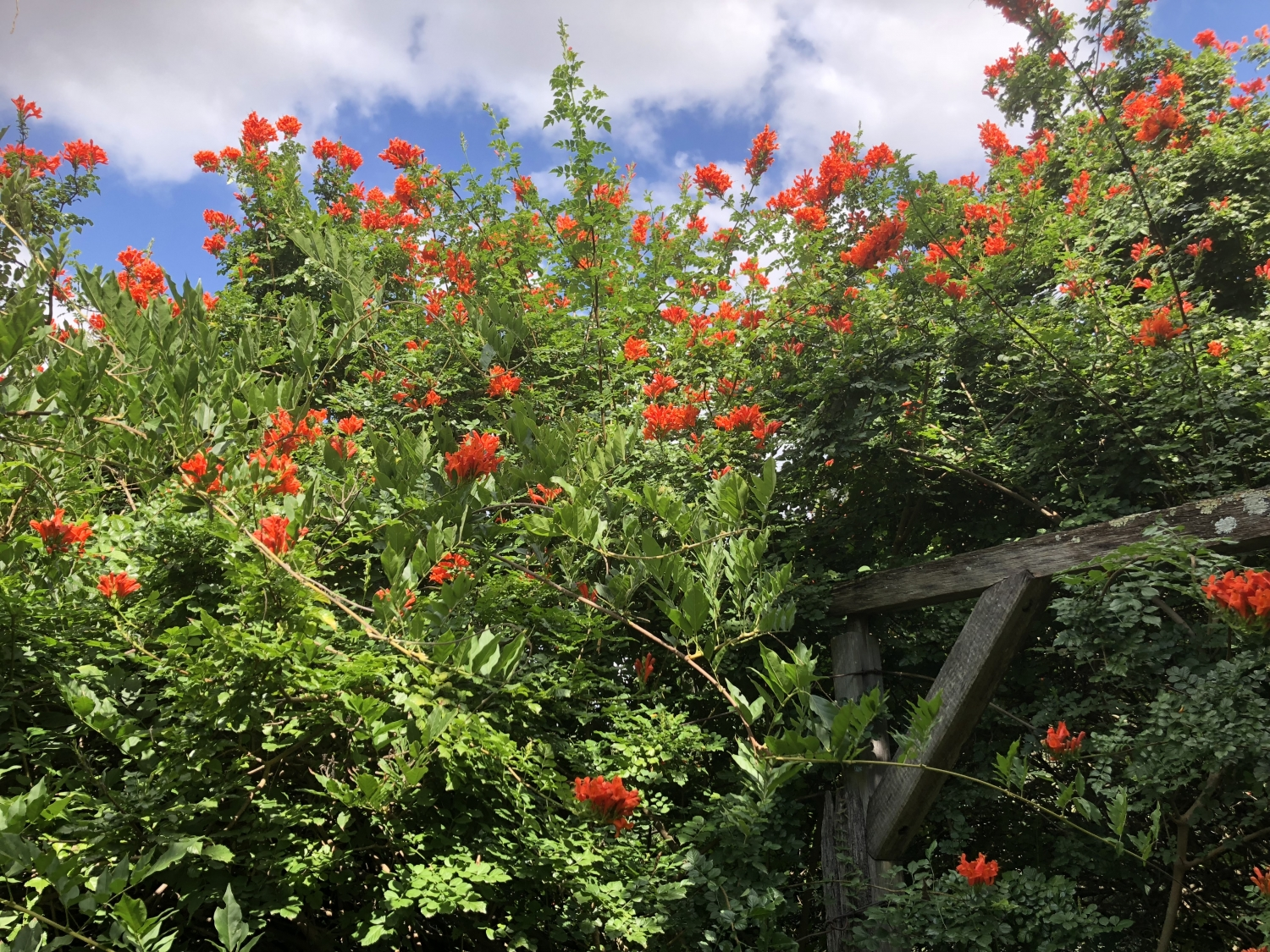 Bright orange-red flowers surround the shiny green foliage of the Tecoma crowing over the timber arbour at Rouse Hill House and Farm