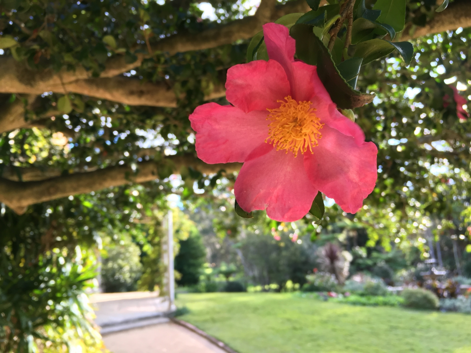 Camellia sasanqua 'Rosea' - the mild pink Camellia with its contrasting yellow stamens at Vaucluse House