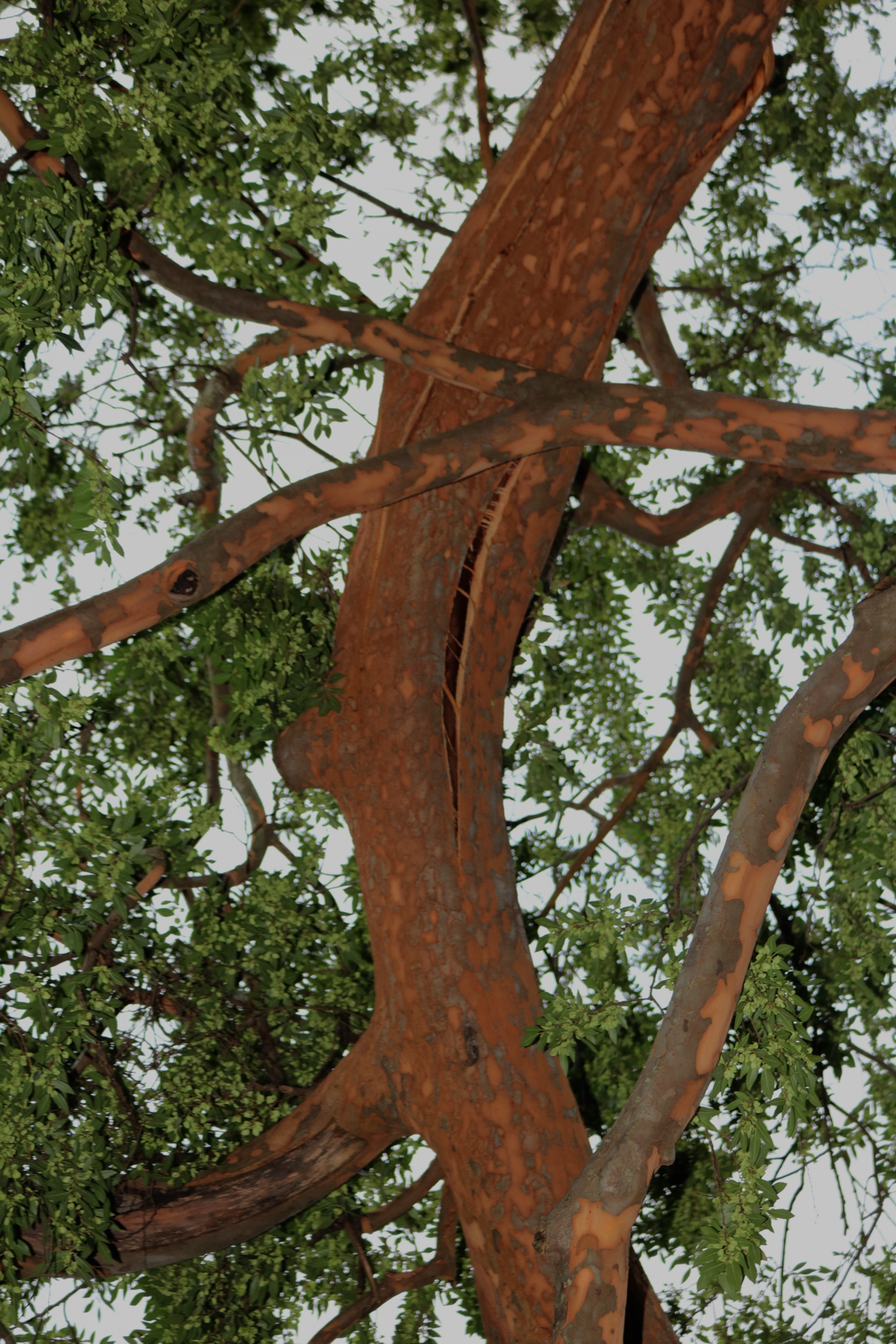 Photo showing the spiral fracture on the Elizabeth farm Elm tree
