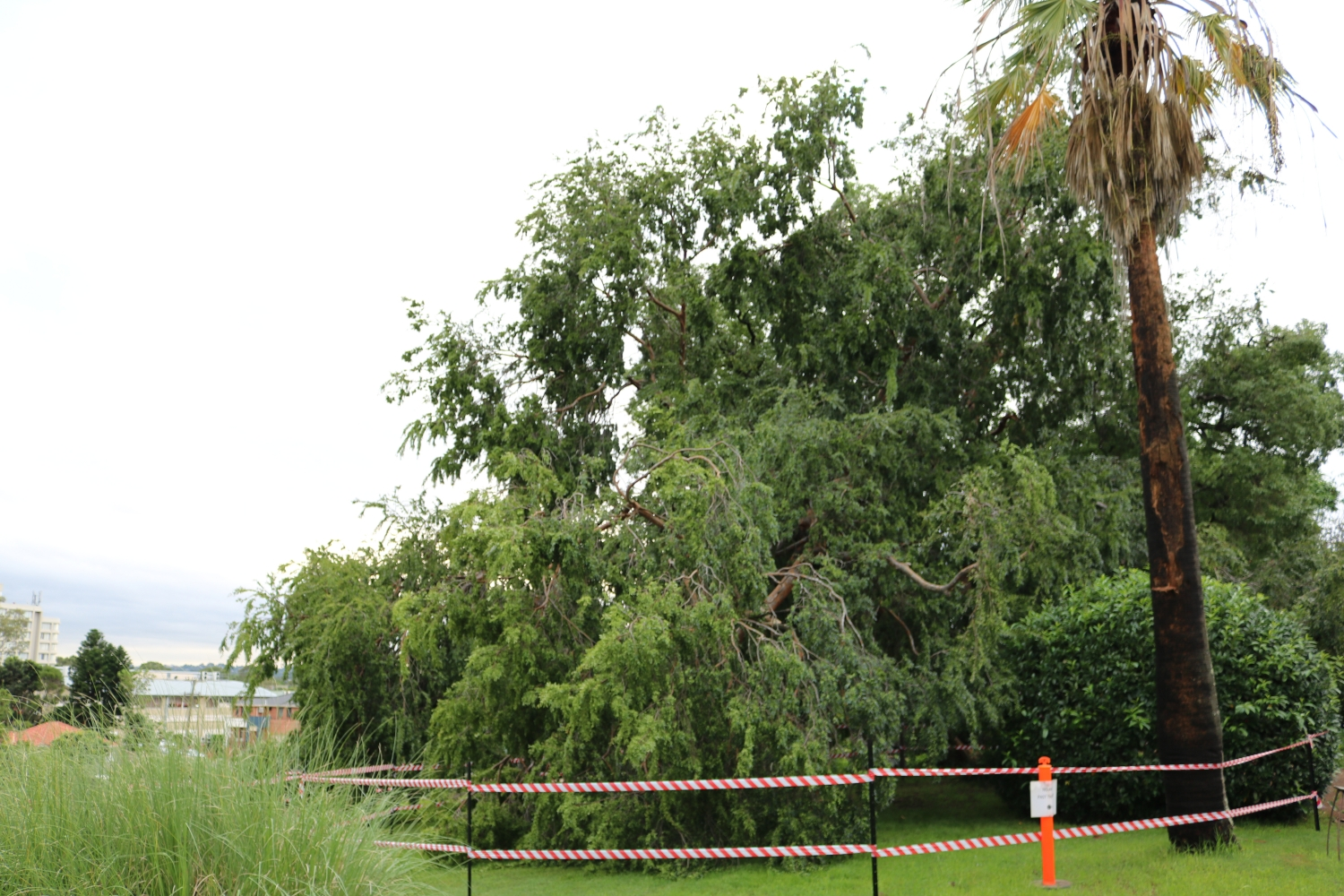 The exclusion zone at Elizabeth Farm around the Chinese Elm tree.