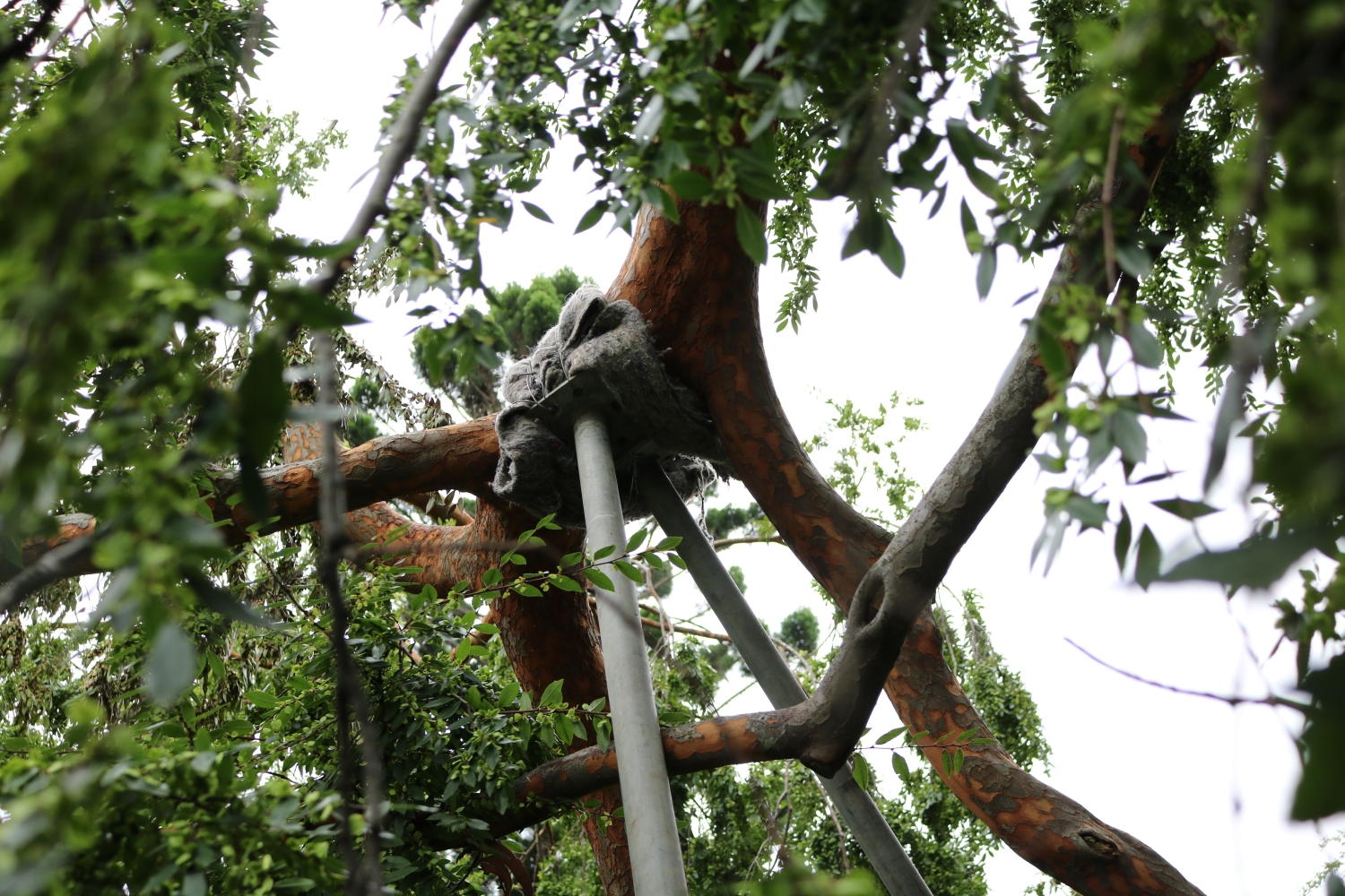 Steel props supporting the damaged Elm tree limb at Elizabeth Farm