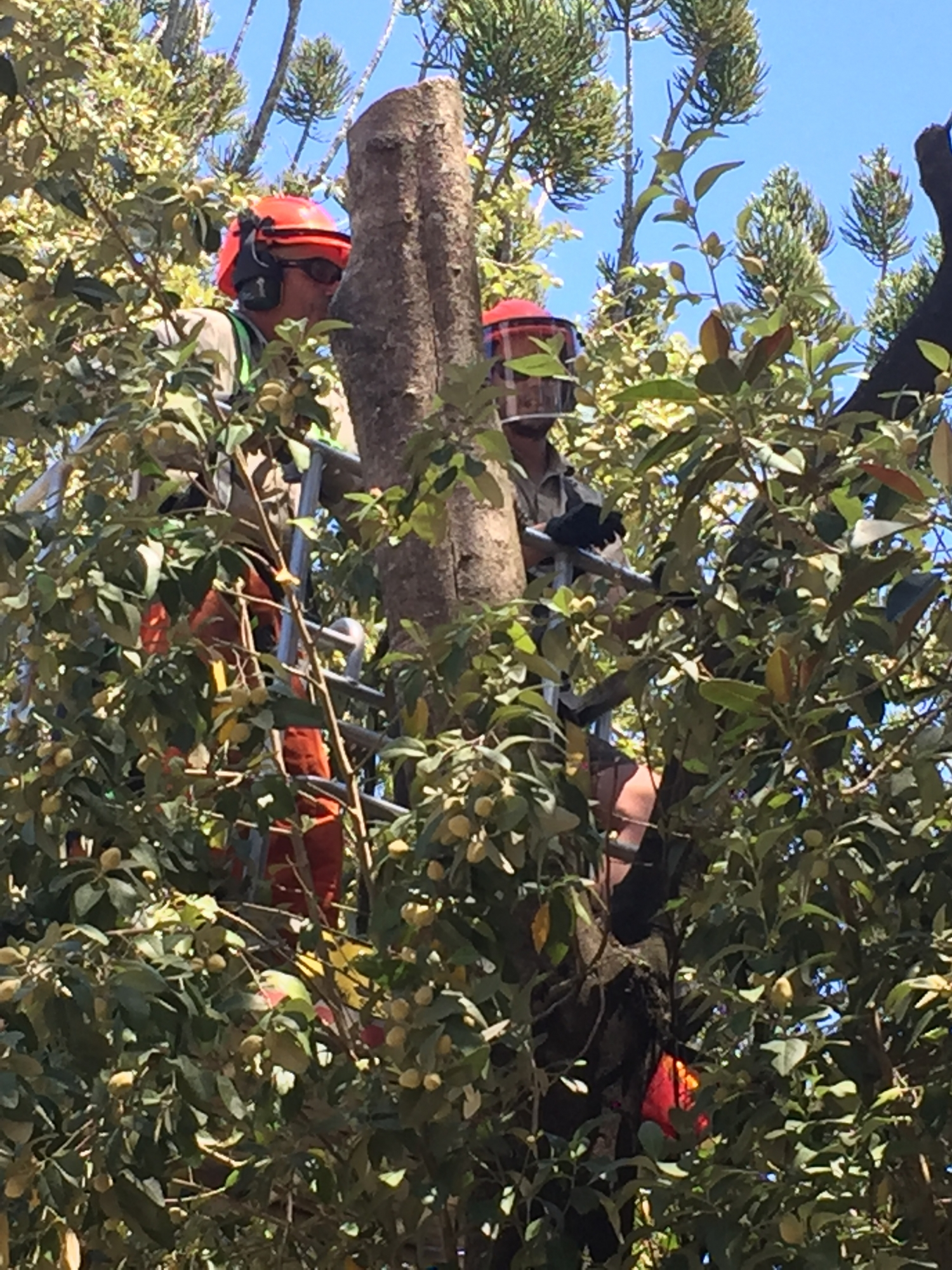 The two Steve's in the bucket assessing the tree at Rouse Hill