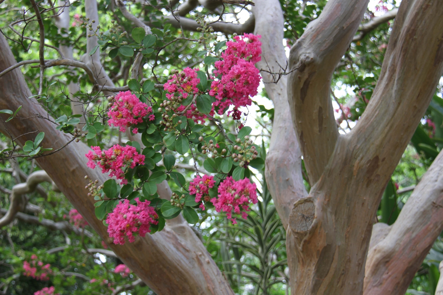 Crepe myrtle flowers against the tree's patterned bark