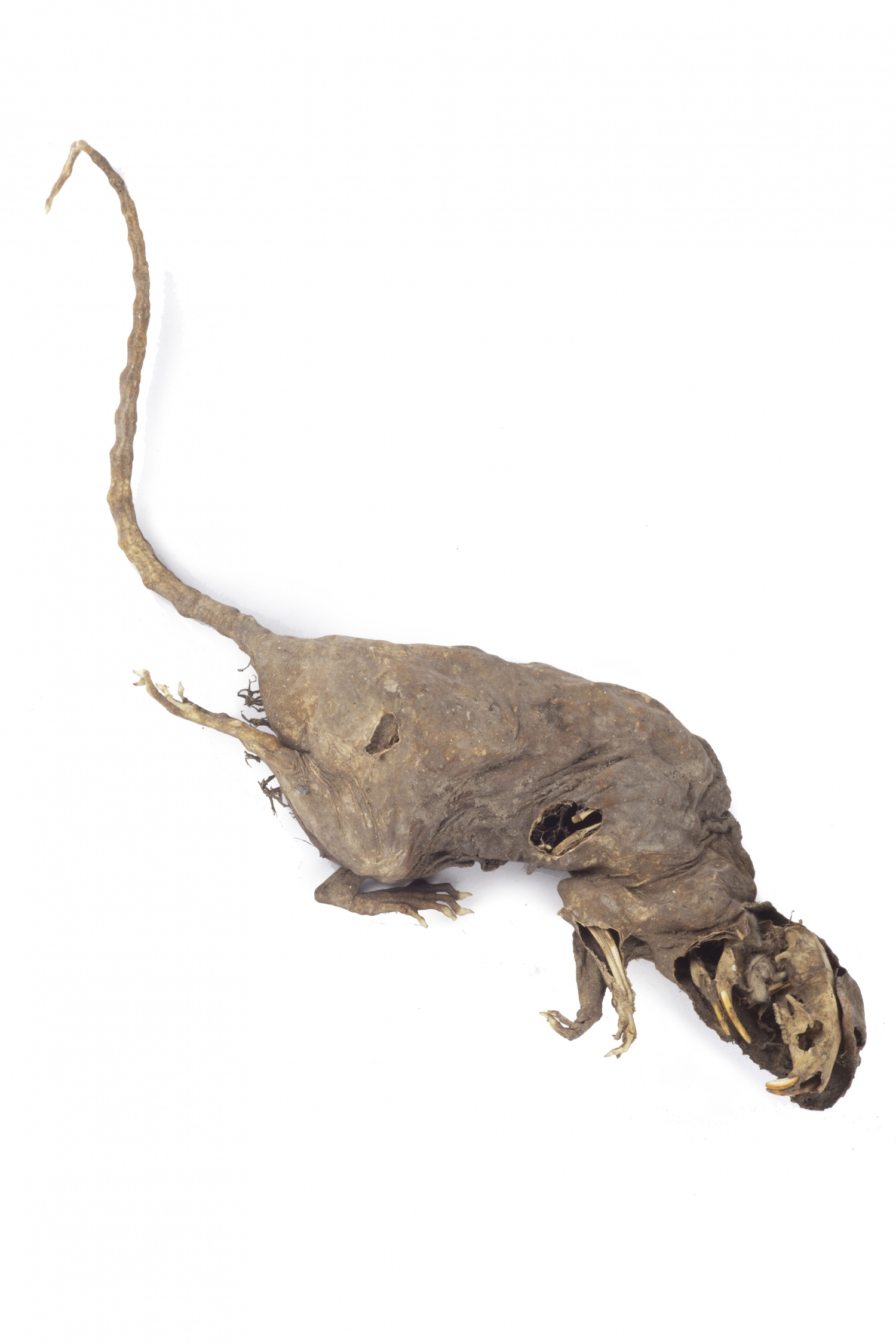 Dried up body of rat