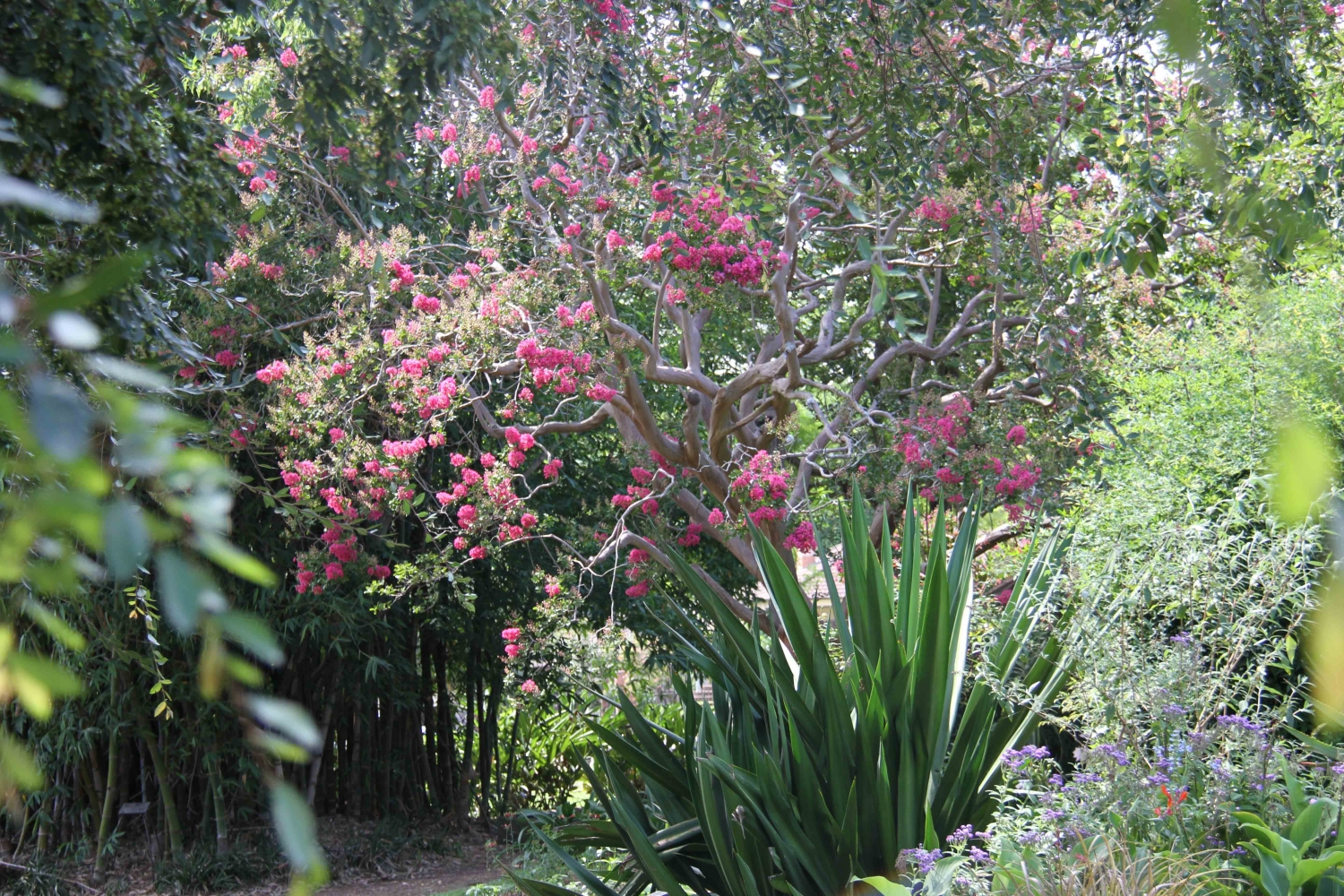 Flowering crepe myrtle and bamboo