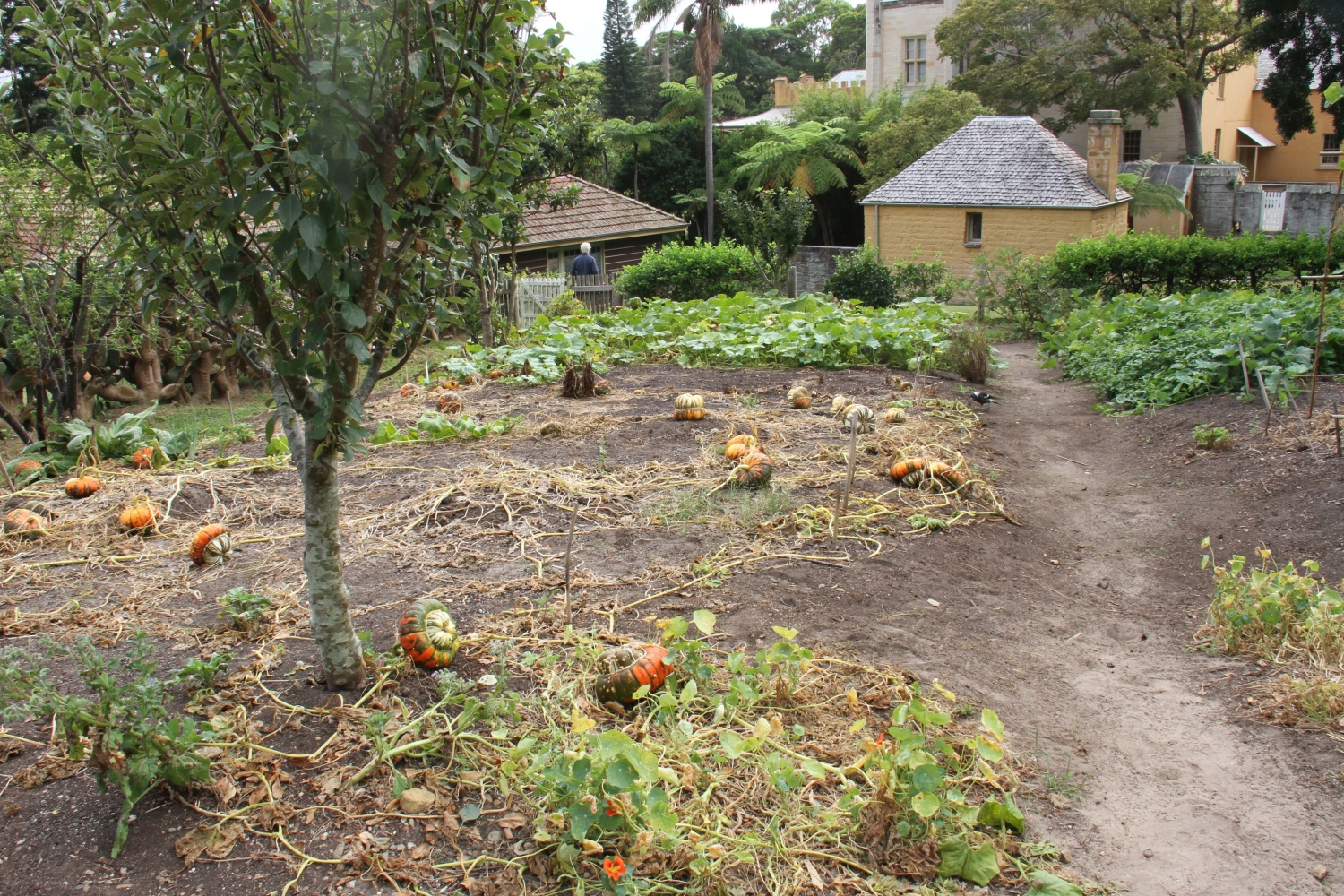 Orange and green pumpkins in the kitchen garden