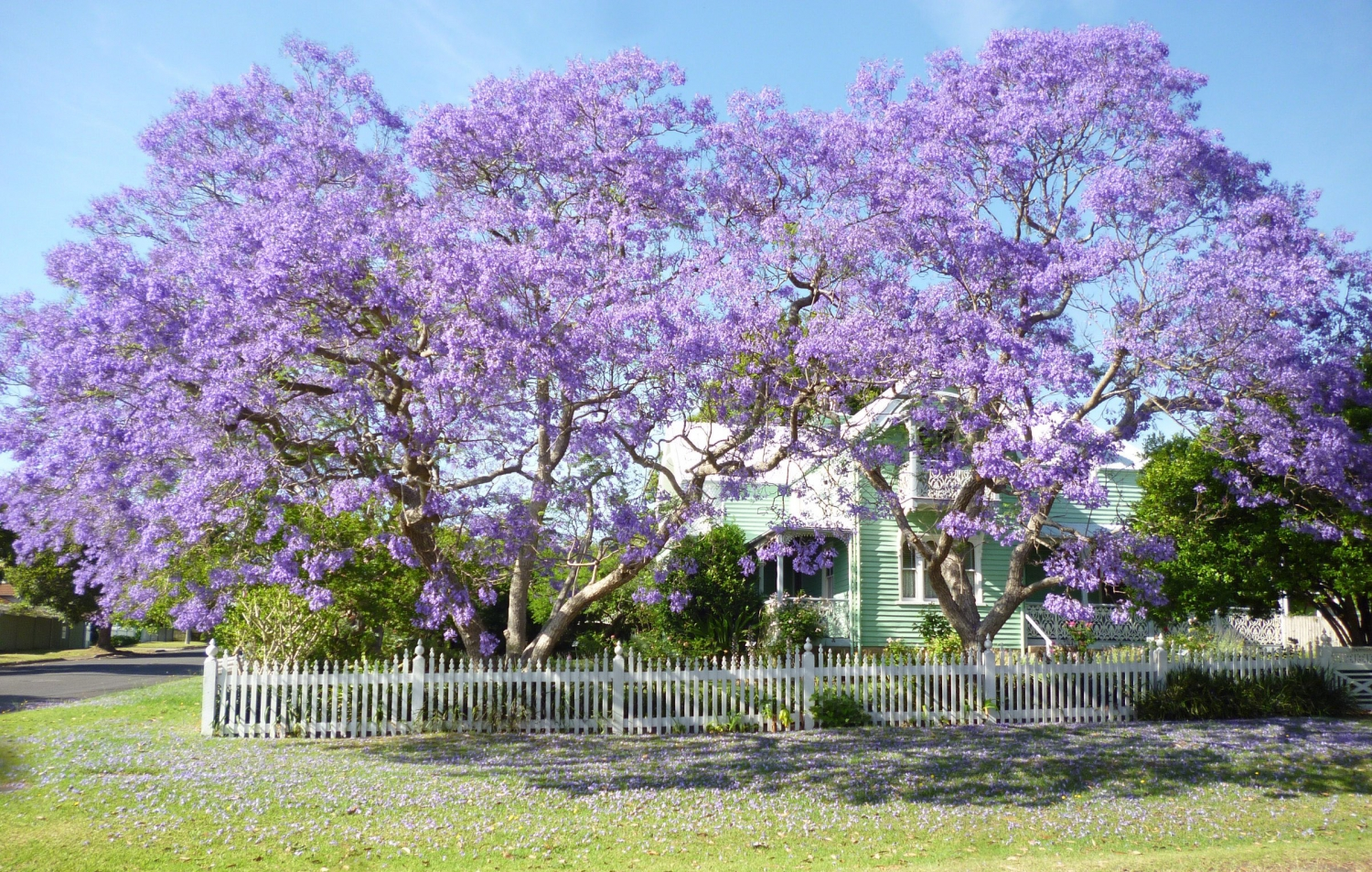 Jacarandas in flower at Meroogal