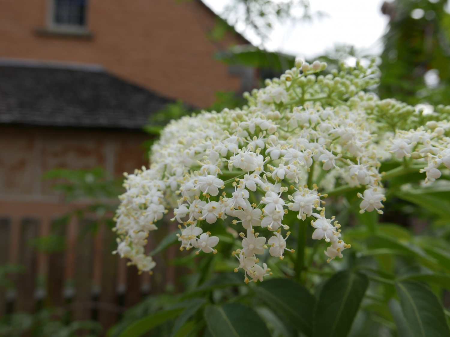 The white flowers of the elderberry at Vaucluse House