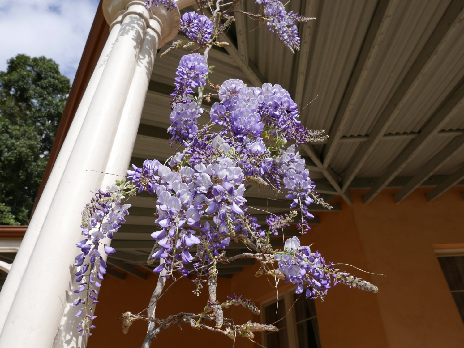 The wisteria at Vaucluse house begins to bloom