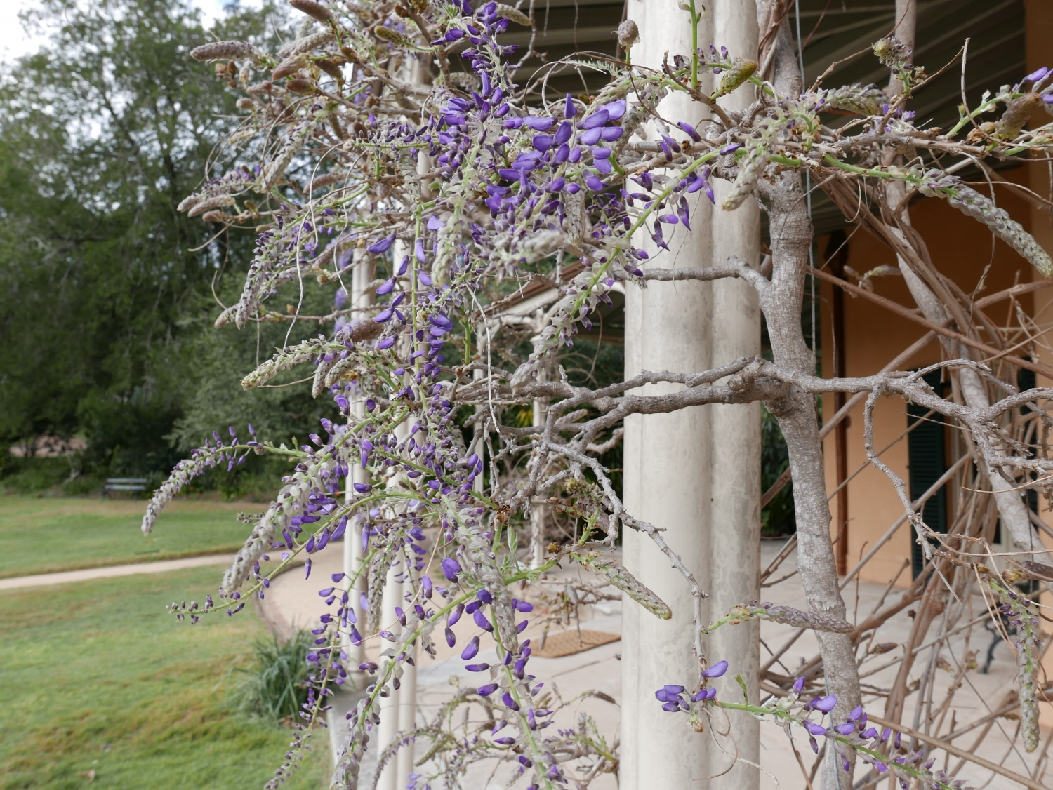 The Wisteria buds at Vaucluse House begin to open