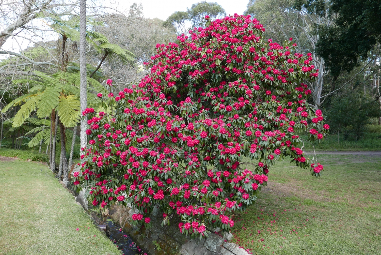 Rhododendron sp. alongside the creek at Vaucluse House
