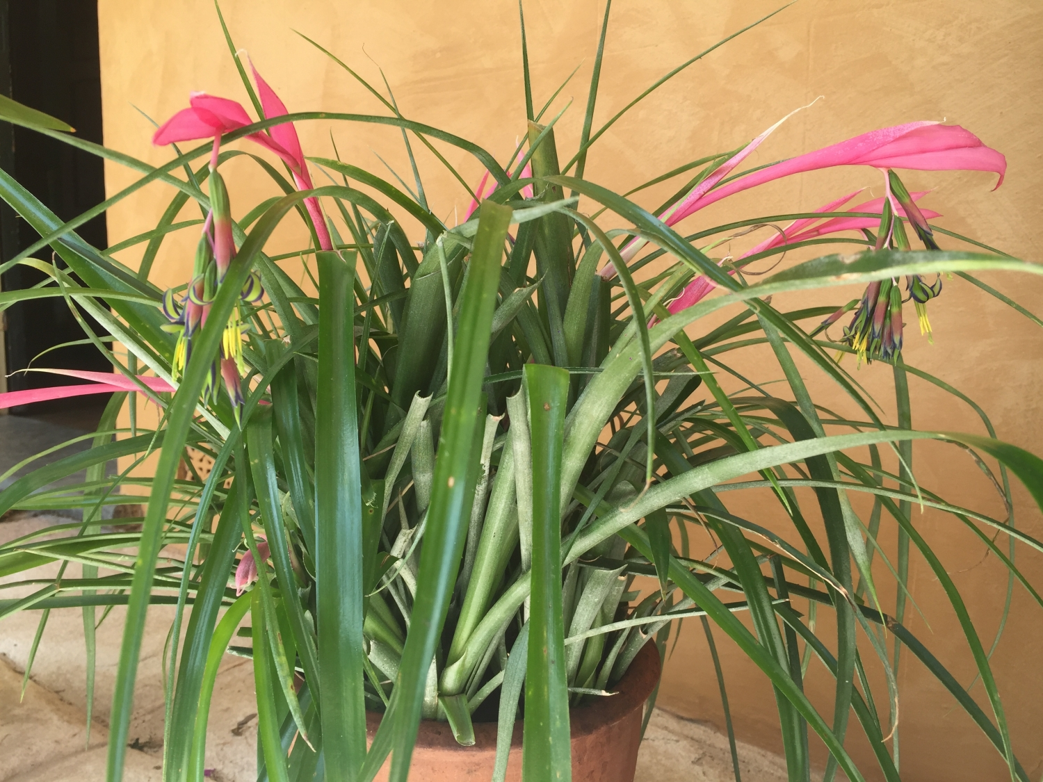 Pot of bilbergia nutans - queens tears on the verandah at Elizabeth Farm