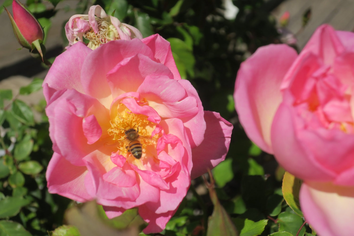 Pink rose with yellow centre with bee.