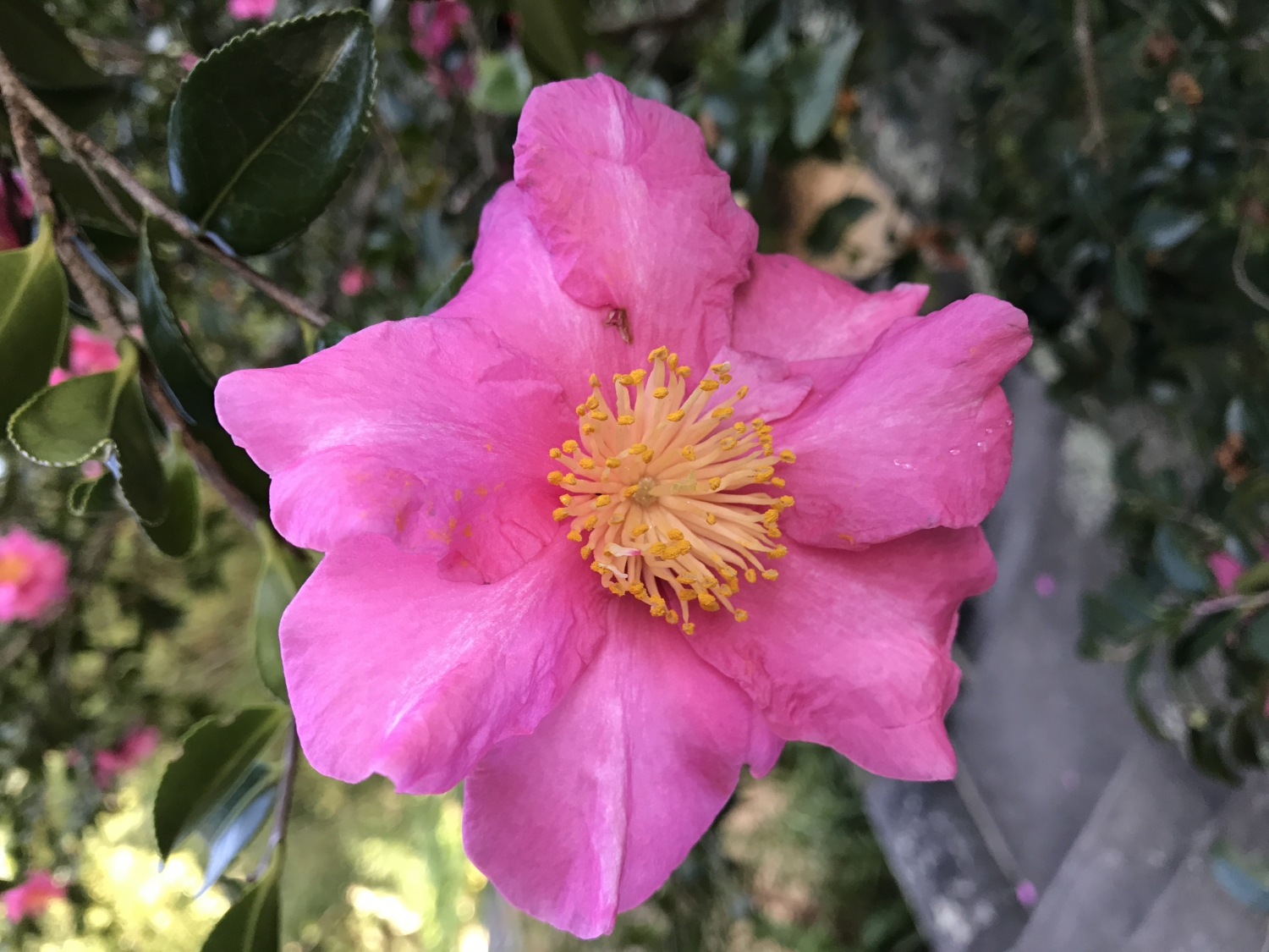 pink single bloom of the Camellia sasanqua from Vaucluse House