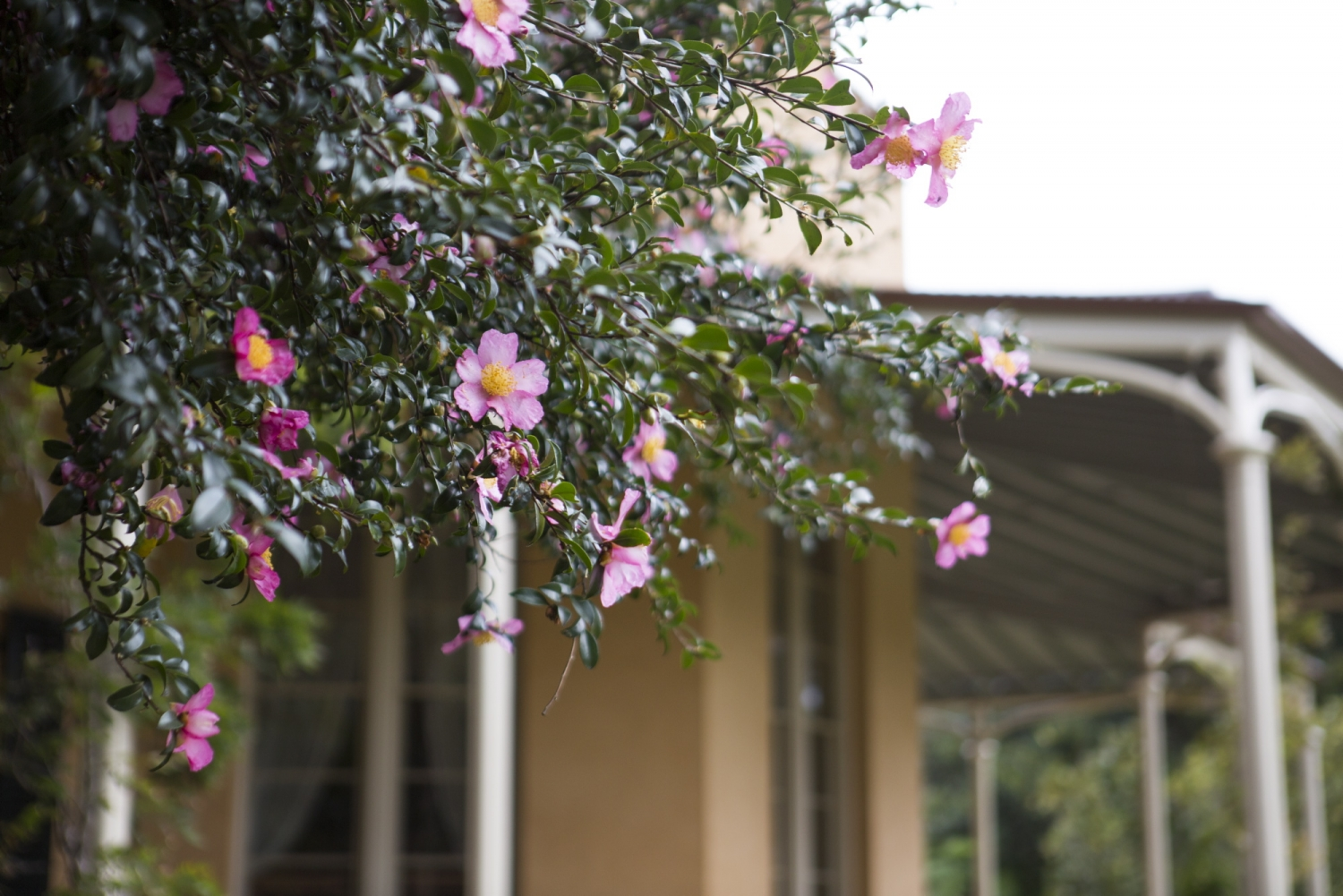 Photograph of a large camellia in flower beside Vaucluse House