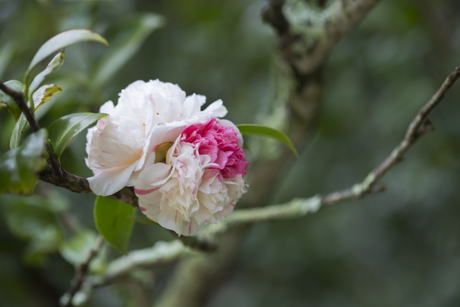 close up of an Aspasia Macarthur camellia bloom at Vaucluse House