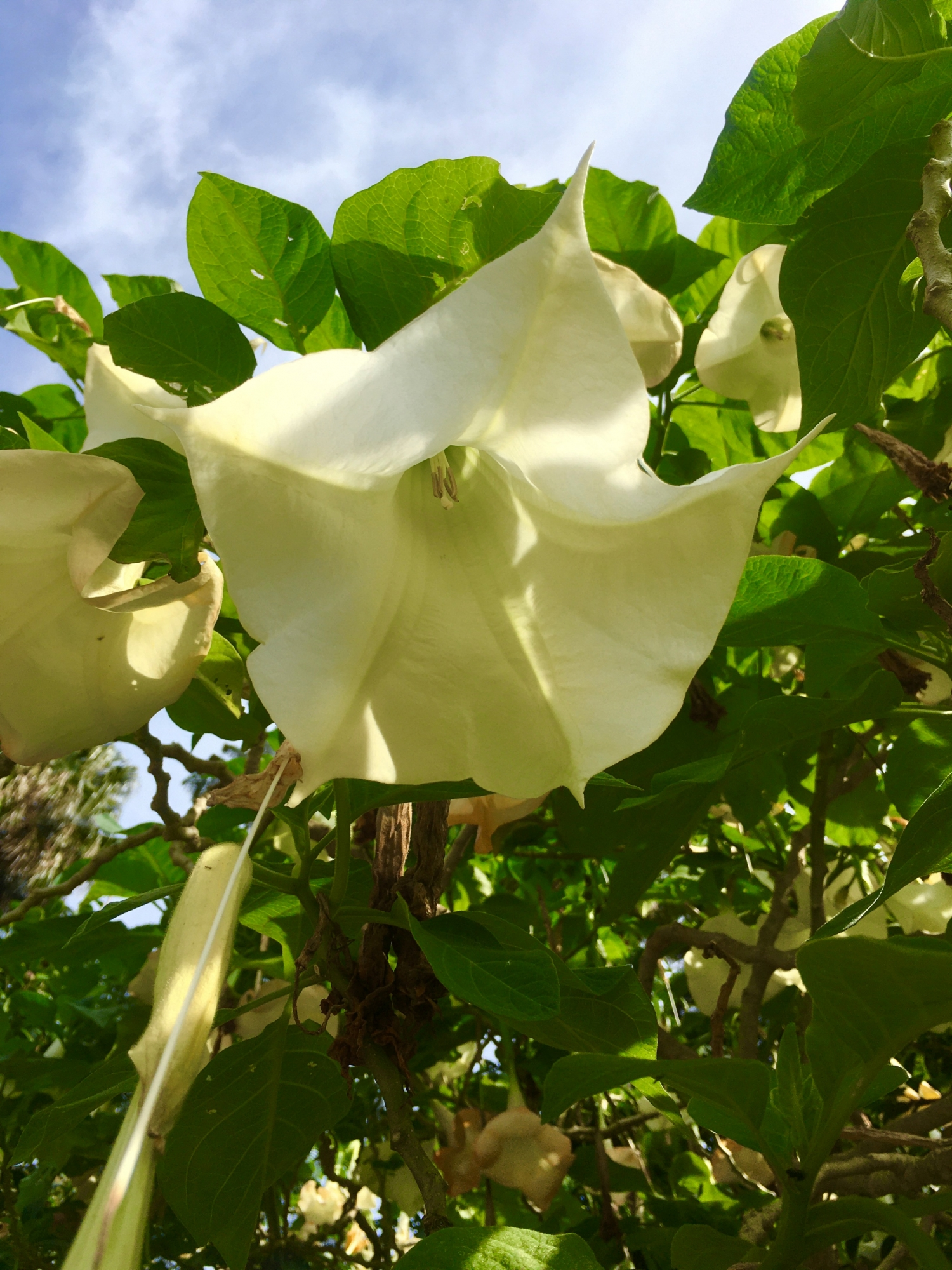 the white centre of the phot is the flower of the Angel's Trumpet plant, with big soft green leaves surrounding it