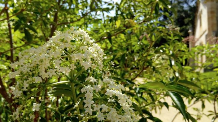 The small white objects in the foreground are the flowers of the Elderflower with the Vaucluse House Stable son the far right.