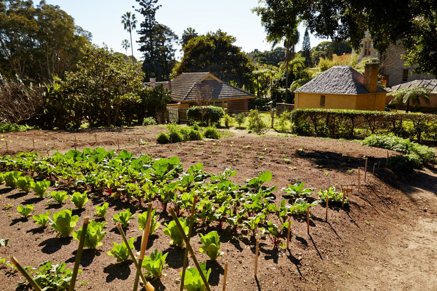View of vegetable garden with house in background.