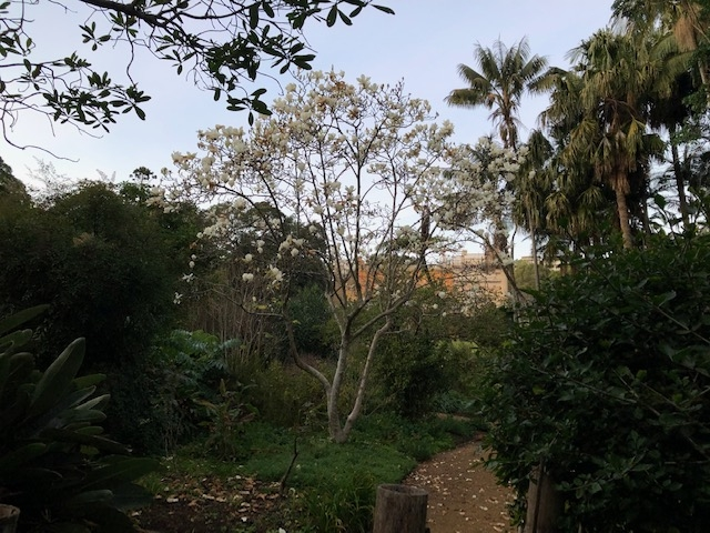 the Pleasure gardens at Vaucluse House with the Yulan magnolia blooming in the gardens. Its early morning so the light is low and you can see the white petals on the ground