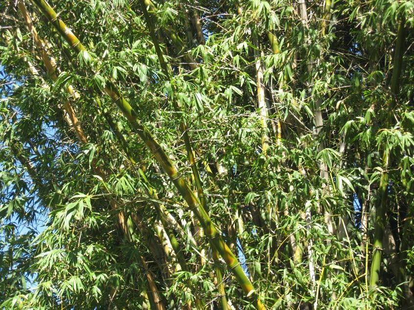 grens and yellows are the main colors of the bamboo that towers above Vaucluse House