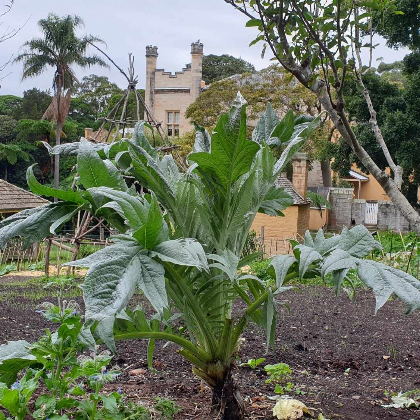 Large leafy green plant with house in background.