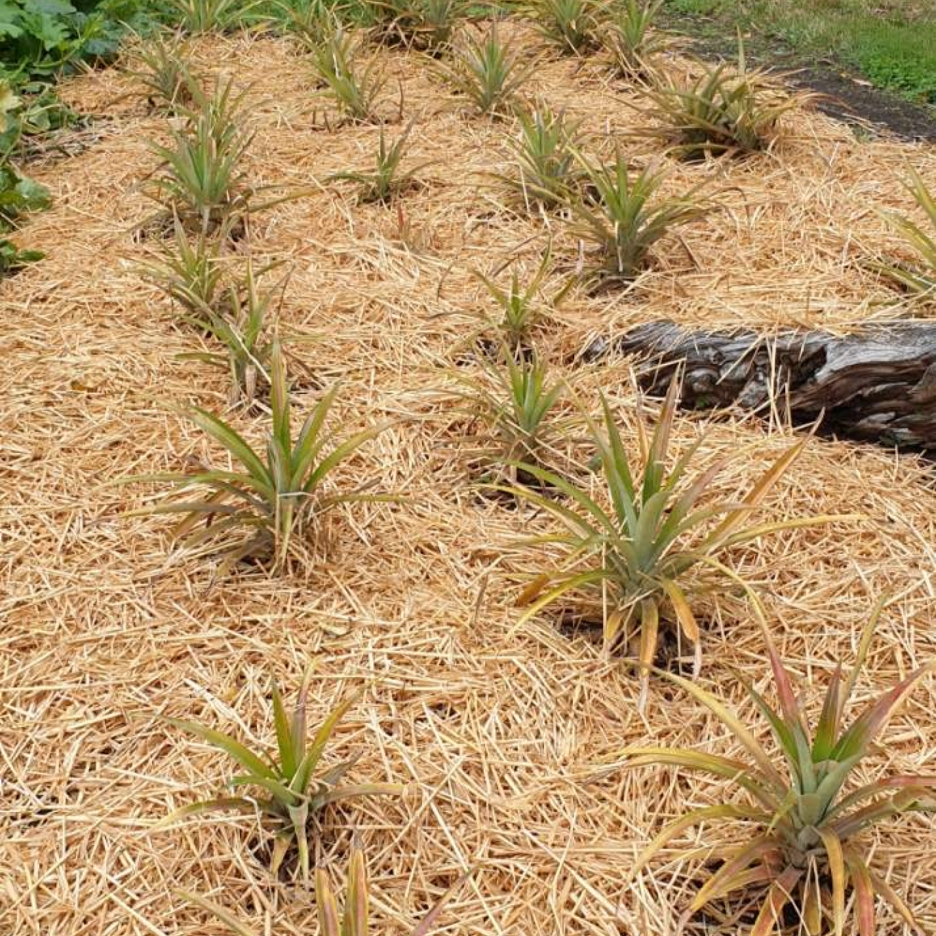Rows of pineapple plants.