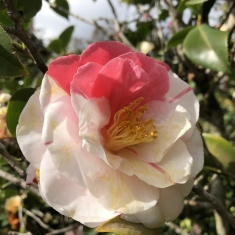 The interesting coloring of white and pink from the camellia 'Jean Lyne' flower At Vaucluse House.