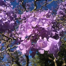 The vivid clusters of the Jacaranda Tree at Elizabeth Farm
