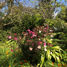 The colourful plant in the centre of the image is the rosa chinensis mutablis or the butterfly rose as it is commonly names. Is covered in multi coloured roses
