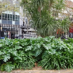 Large glossy green leaves of Acanthus mollis fill a large garden bed at The mint, in Sydney. There is a tall cordyline in the center of the bed and it is fenced in by sandstone and black iron bars.