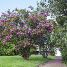 The lilac Crepe myrtles at Rouse Hill House and Farm