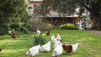 Group of chickens in the garden