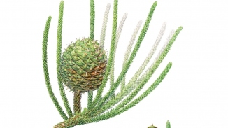 Botanical painting of Araucaria heterophylla (Norfolk Island pine) by Angela Lober, 2015.