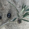 Ripe olives on small sprig with leaves.