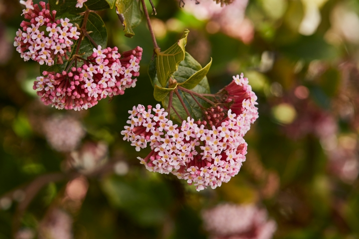 Pink clustered flowers.