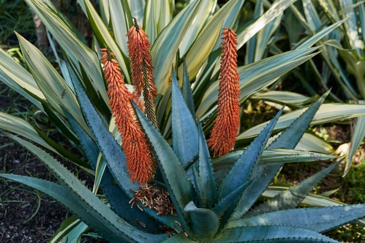 Serrated edged spiked leaves with orange flower spikes.