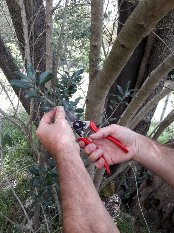 Mark from the Australian Botanic Garden, Mount Annan, takes a cutting of the olive tree at Elizabeth Farm.