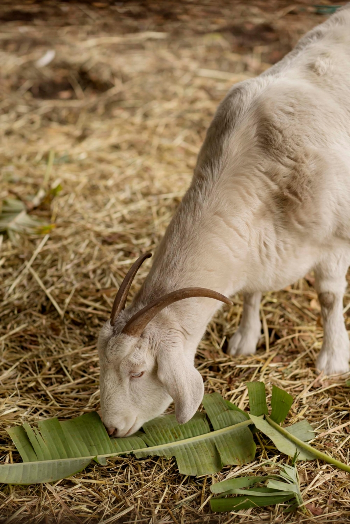 Goat eating in pen strewn with straw.