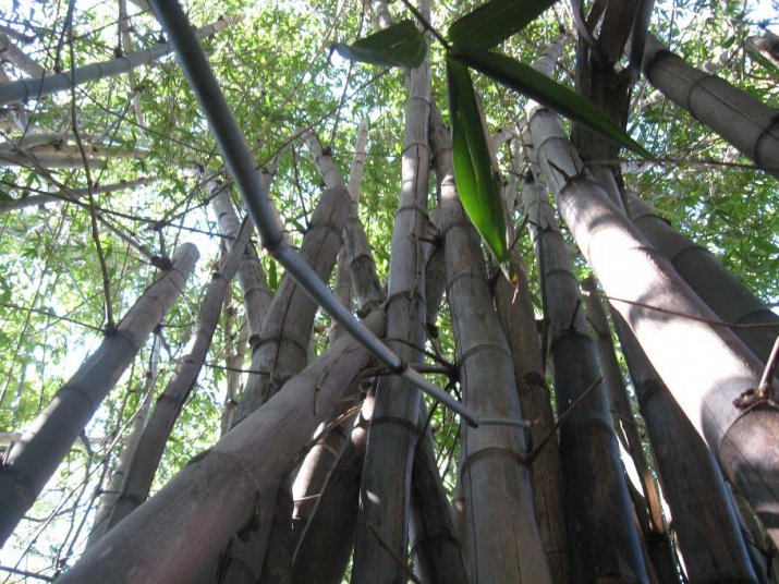 looking up from the ground you can see the large bamboo clums at Vaucluse House on the Beach paddock
