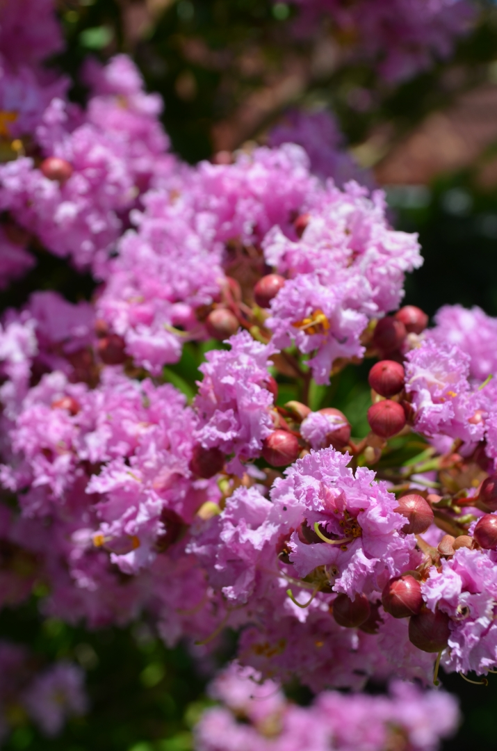 Close up image of the pink Crepe myrtles at Rouse Hill House and Farm