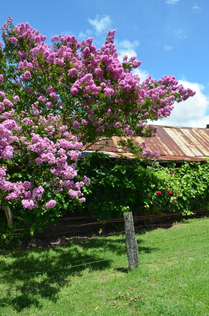 The pink glow of Crepe myrtles at Rouse Hill House and Farm's Overseers cottage.